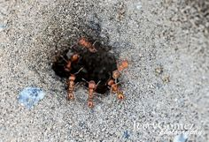 Macro Photography of Ants  11x14 Photo and by jerrygomezphoto, $15.00