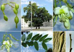 A faj kettős latin neve: Sophora japonica Magyar név: japánakác Család: Fabaceae  Alcsalád: Faboideae  Rend: Fabales Életforma: MM Termés: cikkes hüvely