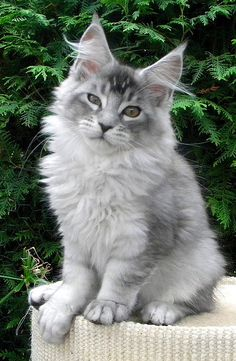 Couleurs et marquages chez le maine coon :: Lovely angel coon http://www.mainecoonguide.com/where-to-find-maine-coon-kittens-for-sale/