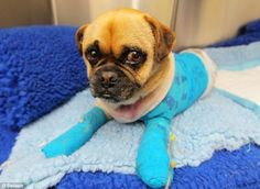 Australia's tiny symbol of hope: How Charlie the pug survived catastrophic bushfires which left half his body burned