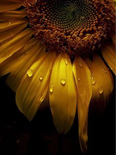 Dew drops on sunflower Happy Flowers, Beautiful Flowers, Sun Flowers, Flowers Garden, Exotic Flowers, Beautiful Pictures, Sunflowers And Daisies, Tulips, Sunflower Pictures