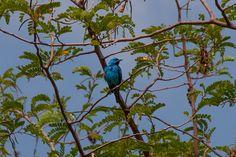 Foto saí-azul (Dacnis cayana) por Evaldo HS Nascimento