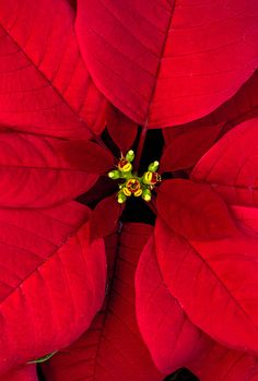 December 12 is National Poinsettia Day always a beautiful decoration during the winter.