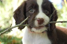 Our new English Springer Spaniel, 6 1/2 weeks