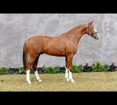 Bailarino - Oldenburg stallion. I want this one