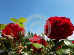 Red roses bush in the garden .