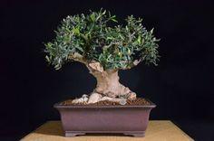 come creare un bonsai da un ramo d'ulivo