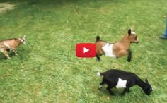 I could watch this for hours! It sounds like theyre all giggling which makes it even funnier! Buttermilk Sky is my spirit animal today,hahahahahahaha Cute Gif, Funny Cute, Dwarf Goats, Cow Pictures, Cute Goats, Chicken Humor, Crazy Friends, Baby Goats, Cool Pets
