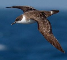 Great Shearwater // Puffin majeur -