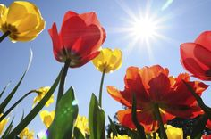 """It's possible to grow tulip bulbs in warm climates, but you have to implement a little strategy to """"trick"""" the bulbs. But it is a oneshot deal. The bulbs won't generally rebloom the following year. Click here to learn about growing tulips in warm weather."""