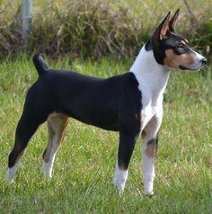Spitfire Deckers - Decker Terriers - Decker Hunting Terriers - Rat Terriers
