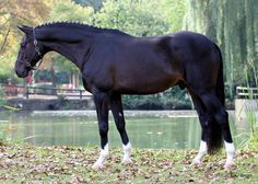 Big, gorgeous, well proportioned, black, AND chrome! When can we meet! Most Beautiful Horses, Pretty Horses, Horse Love, Animals Beautiful, Adorable Animals, Cow Girl, Cow Boys, Dutch Warmblood, Warmblood Horses