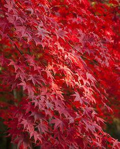 Acer palmatum chitoseyama dans 9 cm Pot Idéal Bonsai sujet