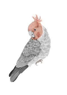 Australian Gang Gang Cockatoo ©beth-emily 2013