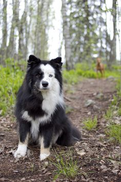 Panda The Finnish Lapphund:beautiful Cute Puppies, Cute Dogs, Dogs And Puppies, Doggies, Animals And Pets, Funny Animals, Cute Animals, Big Dogs, I Love Dogs