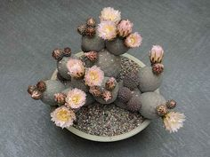 This little Argentinian species grows blobby joints with lovely pale flowers! Tephrocactus geometricus by u4banut, via Flickr.