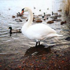 missing a svan emoji  #mystoryhelsinki #canonnordic #swan #swanbay #töölönlahti #myhelsinki #helsinki #reflections #ig_helsinki #helsinkiofficial #visithelsinki #ourhelsinki #visitfinland #ig_finland #explorefinland #discoverfinland #ourfinland #thisisfinland #finland_photolovers #thebestoffinland #igersfinland #igscandinavia #nordicphotos  #planetwanderlust #yleluonto #uusiluontokuva #suomenluonto Visit Helsinki, Finland, Swan, Instagram, Swans