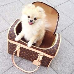 528 Best Pom Poms Images Cute Puppies Cute Dogs Fluffy Animals