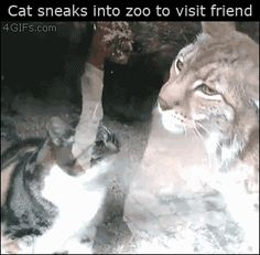 Cat sneaks into zoo to visit friend