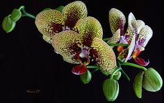 my new orhidea by Adriana Ludwig Loebel - Photo 107531485 - 500px