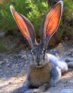 Arizona-Sonora Desert Museum Somebunny is ready for their closeup! Mario Martinez (Pachucos_Art), captured this moment while hiking around the region. So captivating. Nothing quite like a jackrabbit's ears!