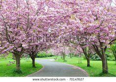 Cherry Blossom Pathway - stock photo