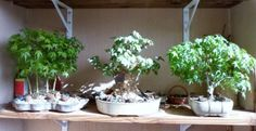 Bosque de acer palmatum, acer buergerianum y acer palmatum kiyohime.