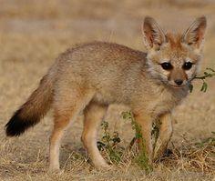 Bengal Fox | Bengal Fox - fox species | melias jishebi | მელიას ...