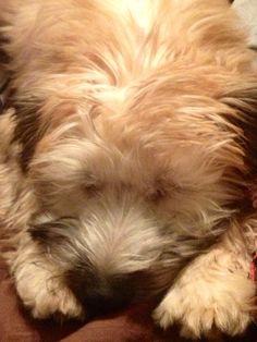 Sleepy wheaten terrier <3 Wheaten Terrier Mix, Companion Dog, Terriers, Beards, Fur Babies, Cute Animals, Friends, Dogs, Pretty Animals