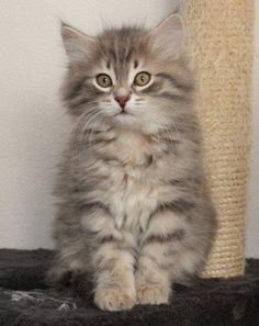 Siberian Cat Kitten, Cattery Tomintoul's, The Netherlands