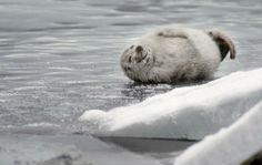 Ilouutisia saimaannorpan pesälaskennasta - katso video! | Itä-Savo Baby Seal, Polar Bear, Finland, Penguins, Cute Babies, Animals, Animales, Animaux, Baby Harp Seal