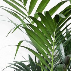 the banana leaf plants en 2018 pinterest leaves plants et tropical. Black Bedroom Furniture Sets. Home Design Ideas