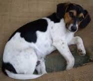 Image result for Mini fox beagle