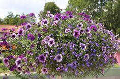 Caledonia Trio - Verbena Samira® Deep Blue   Lobelia Laura Blue   Petunia Pegasus® Purple Vein