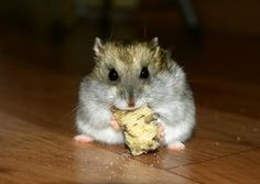 Hamsters can store their food in pouches along their cheek.   ............. Types of hamsters include Syrian hamsters, which are more commonly referred to as teddy bear hamsters, or the dwarf hamster, which are small...