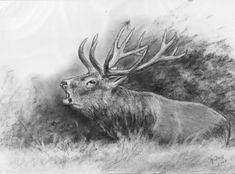 Geweihträger – Jagdmaler Thomas Bold Pencil Art Drawings, Animal Drawings, Deer Drawing, Hunting Art, Deer Tattoo, Wood Burning Patterns, Cow Art, Zoology, Wilderness