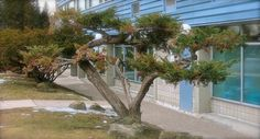 A Cool Tree on Carling Avenue in Britannia