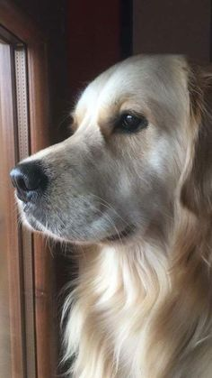 What a great face. Love Goldens!