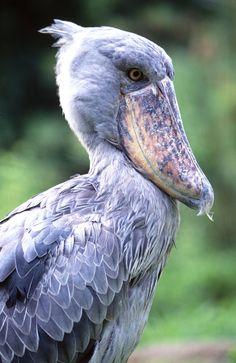 African Shoebill - How to #photograph #birds on #safari. #Africa #Travel #Wildlife