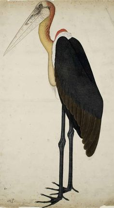 Adjutant Stork By Sheikh Zayn ud-Din of Patna For Lady Impey, 1780 Now in the Ashmoleon