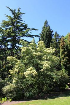 Empress of china dogwood small trees try harder pinterest empress of china dogwood small trees try harder pinterest trees plants and china sciox Image collections