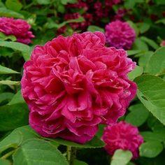 Sachsengruss (trandafir de dulceata)