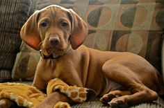 Vizsla Pup ~ Classic Look Vizsla Puppies, Vizsla Dog, Weimaraner, Cute Dogs And Puppies, I Love Dogs, Best Dog Breeds, Best Dogs, Hungarian Vizsla, Dog Eyes