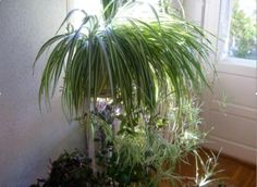 Хлорофитум: растение с поистине удивительными свойствами… Буквально творит чудеса!