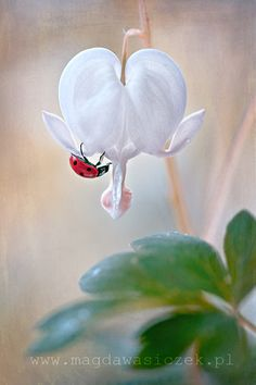 White Bleeding Heart Bloom with a Ladybug friend. Bleeding Heart Flower, Bleeding Hearts, White Flowers, Beautiful Flowers, Beautiful Bugs, White Gardens, Belle Photo, Mother Nature, Planting Flowers