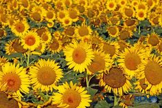 (3) I call this one Sunflower Choir by Ronald Varley on Google+ -
