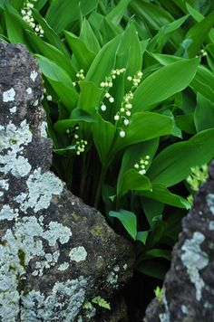 The Artful Gardener - lily of the valley