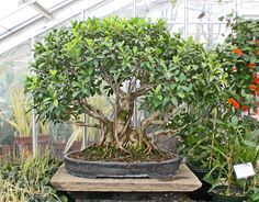 × Source by jussararesende . Bonsai Ficus, Tropical, Plants, Image, Gardening, Lawn And Garden, Plant, Planets, Horticulture