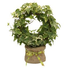 Live ivy wreath topiary.   Product: Live ivy wreathColor: GreenFeatures: Comes packaged in a jute bag ...