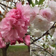 Late arrivals are in full bloom #Meadowlark perimeter trail #cherryblossoms #loveVA